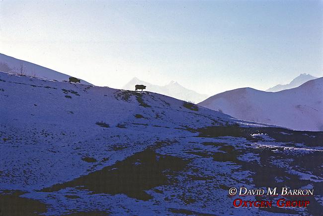 Cow On Ridge