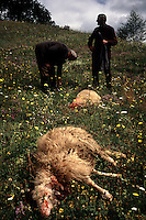 Pagan Sacrifice..These brothers are sacrificing sheep for the sins of their ancestor who burned sacred buildings on Khati grounds many generations ago...Pagan festivals are held annually that have Christian overtones.  Some of the elders clothes date back to pagan times. There are no priests or working churches in any of the valleys. Every village has an elder with priest-like powers. Each village has its own Khati--a couple of huts associated with their own Pagan deity.  No foreigners have penetrated this area... no Mongols, Arabs, Turks or Persians, unlike the rest of Georgia...