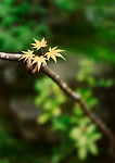 Japanese maple yellow tree leaves in a zen garden, artistic autumn nature closeup. Tenjuan Temple Garden, Kyoto, Japan Image © MaximImages, License at https://www.maximimages.com