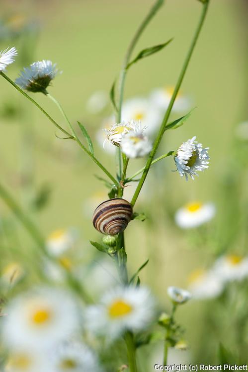 Brown Lipped Snail, Cepaea nemoralis, Fleabane Daisy, Erigeron annuus, Zarnesti Gorges, Romania, invasive species