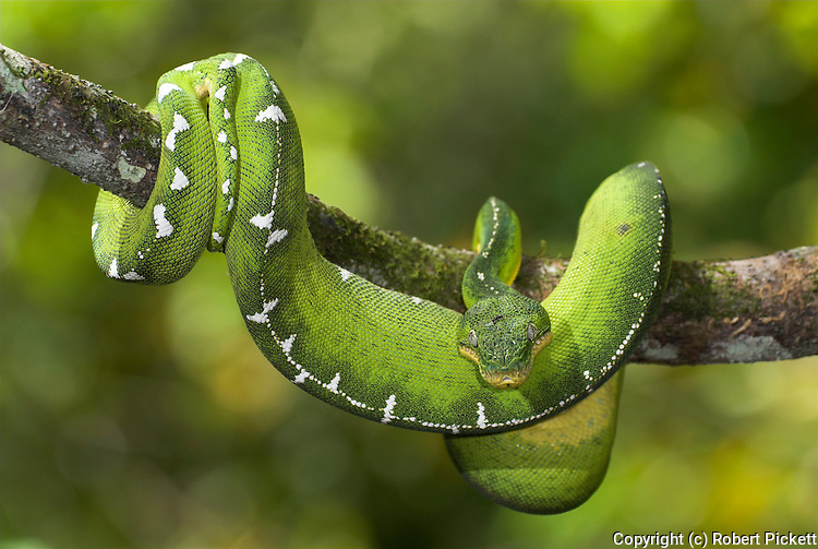 Emerald Tree Boa Snake, Corallus caninus, rainforests of South America, nocturnal, carnivore, curled on branch, daytime.Central America....
