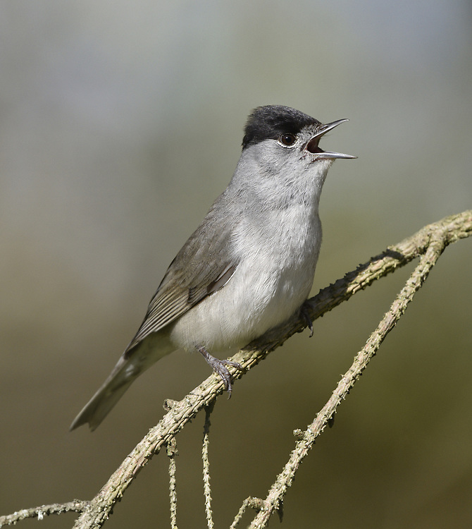 Blackcap - Sylvia atricapilla - male.  L 14-15cm. Distinctive warbler with a musical song. Sexes are dissimilar. Adult male has grey-brown upperparts, dusky grey underparts, palest on throat and undertail, pale eyering and diagnostic black cap. Adult female and juveniles have grey-brown upperparts, pale buffish grey underparts (palest on throat and undertail) and reddish chestnut cap. Voice Utters a sharp tchek alarm call. Song is rich and musical warble; similar to Garden Warbler's but contains jaunty phrases. Status Common summer visitor to deciduous woodland with dense undergrowth, scrub and mature gardens. Migrants from N Europe pass through in autumn and some remain throughout winter.