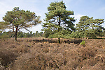Heathland trees and plants, Sutton Heath, Suffolk, England