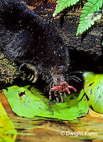 MB11-036z   Star-nosed Mole - drinking from pool - Condylura cristata