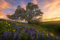 A patch of balsamroot and lupines frame this picturesque tree at sunset in Oregon's Columbia Hills.<br />