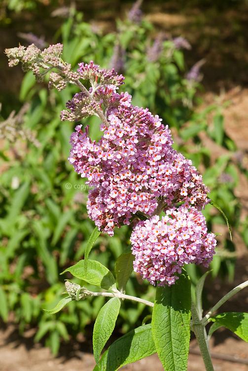 Butterfly Bsuh Buddleja davidii 'Pink Pagoda'