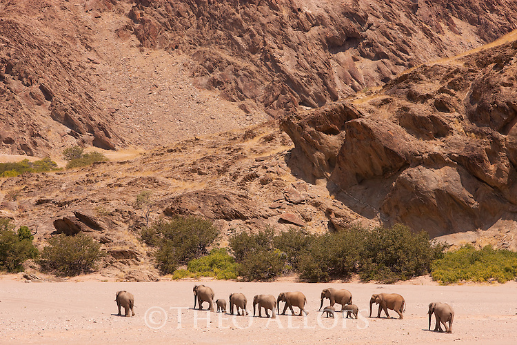 Namibia;  Namib Desert, Skeleton Coast,  desert elephant herd (Loxodonta africana) walking in dry river bed