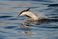 Long-beaked Common Dolphin (Delphinus capensis) leaping in the Gulf of California (Sea of Cortez) , Mexico, Pacific Ocean