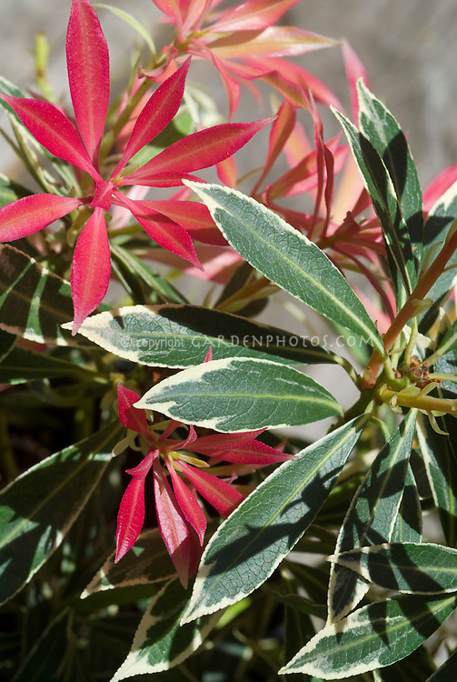 Pieris japonica Variegata in spring new young foliage and variegated leaves