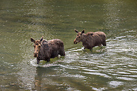 Moose Crossing Buffalo River