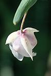 White globe lily, (Calochortus albus) Spring wildflowers, Electra, California.