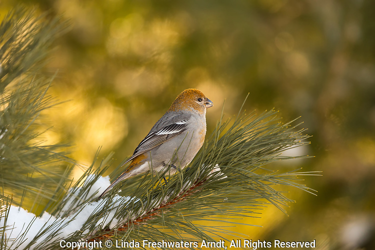 Female pine grosbeak in northern Wisconsin.