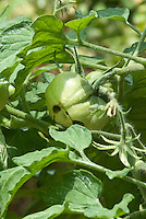 Tomato Plant showing fruit with blossom end rot disease problem