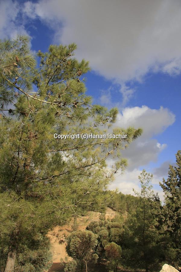 Israel, Southern Hebron Mountain, Yatir Forest