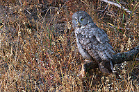 Great Gray owls  (Strix nebulosa) require timbered forest and open meadows for habitat.  The harvest of timber from the Great Grey Owl's habitat is, perhaps, the greatest threat to this species. Intensified timber management typically reduces live and dead large-diameter trees used for nesting, leaning trees used by juveniles for roosting before they can fly, and dense canopy closures in stands used by juveniles for cover and protection. Rainy Lake, Yellowstone.