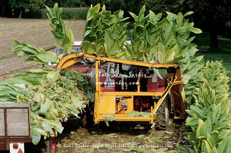 Harvesting tobacco plants in Lot, France.
