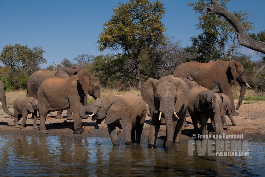 African Elephant (Loxodonta Africana)..Herd at a waterhole..June 2009, winter..Balule Private Nature Reserve, York section..Greater Kruger National Park, Limpopo, South Africa.