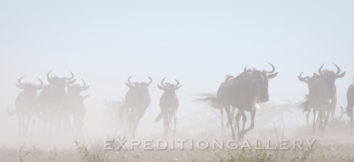 "Dust stirring up around migrating white-bearded wildebeest (Connochaetes taurinus), herds galloping across the Serengeti plains in East Africa.  Also known as gnus, these animals are part of the famous ""Great Migration"" of herds on the vast plains of the Serengeti ecosystem encompassing the Serengeti National Park & Ngorongoro Conservation Area in Tanzania, and the Masai Mara National Reserve in Kenya."
