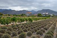 ALBANIA, Shkodra, farming of herbal and medical plants, Lavender field and wine grapes/ ALBANIEN, Shkoder, Anbau von Heil- und Gewuerzpflanzen, Lavendel Feld und Weinreben