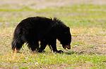 Black Bear Cub, Roosevelt Lodge, Yellowstone National Park, Wyoming