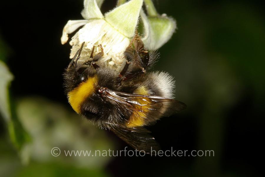 Helle Erdhummel, Weißschwanz-Erdhummel, Bombus lucorum, Arbeiterin beim Blütenbesuch auf Himbeere, Nektarsuche, Bestäubung, white-tailed bumble bee