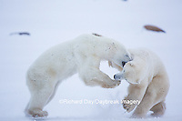 01874-13418 Polar Bears (Ursus maritimus) sparring, Churchill Wildlife Management Area, Churchill, MB