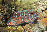 Corkwing Wrasse Symphodus melops Length to 15cm<br /> A colourful species of wrasse, found on rocky shores with abundant seaweeds. Adult has variable colouring but is often yellowish or reddish with blue and red banding, especially on head. The is a dark spot at base of tail which is diagnostic. Widespread and locally common in S and W.
