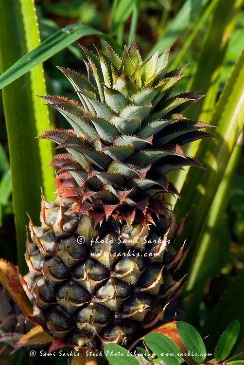 Pineapple fruit surrounded by spiky leaves, Vinales, Cuba.