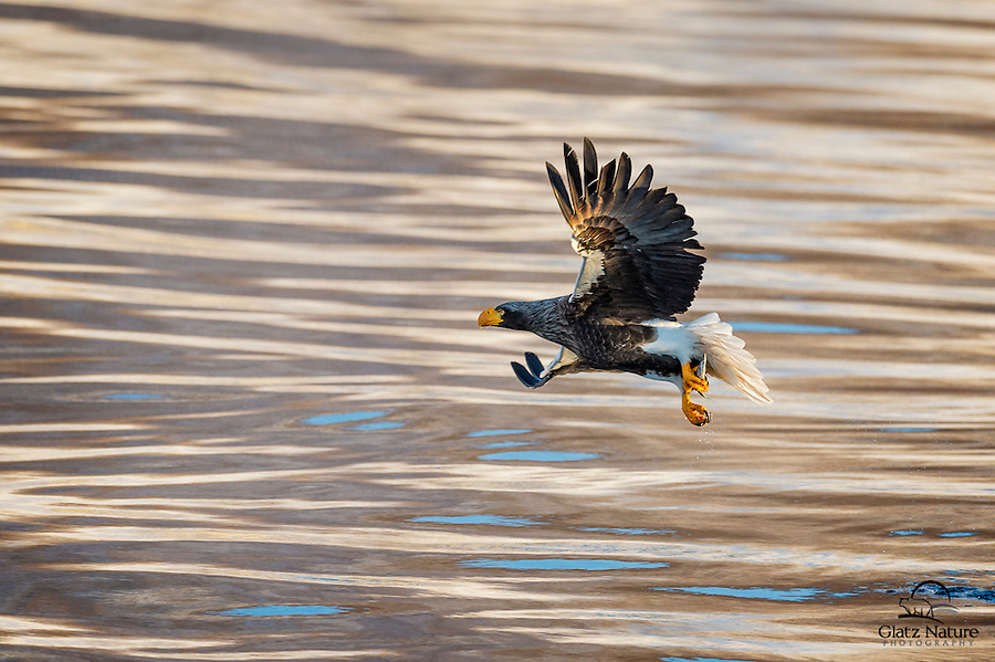 Steller's Sea Eagle with fish caught in a harbor in Northern Japan.