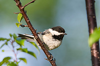 black-capped chickadee, Poecile atricapillus perched, Nova Scotia, Canada