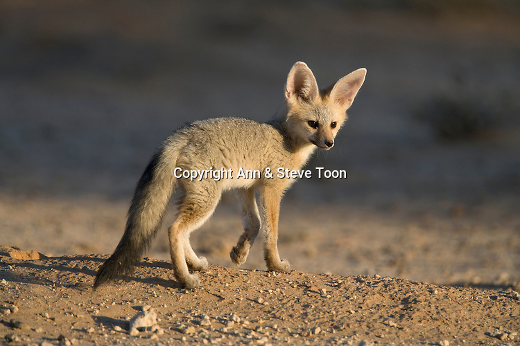 Ampfs70 D Cape Fox Cub Ann Steve Toon Wildlife Photography