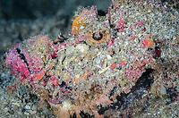 Estuarine stonefish, Synanceia horrida, Lembeh Strait, North Sulawesi, Indonesia, Pacific