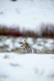 USA, Wyoming, Yellowstone National Park, a coyote hunts for food on Blacktail Deer Plateau North of Prospect Peak