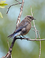 Juvenile mountain bluebirde