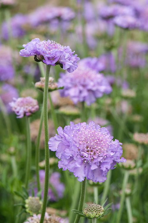 Scabiosa 'Butterfly Blue' or 'Butterfly Blue Beauty', mid May.