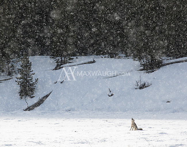 A coyote howls during a morning snowfall.