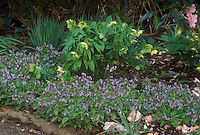 Pulmonaria Fruhlingshimmel & Helleborus hybridus yellow seedling under Camellia, with Galanthus snowdrops in spring bloom