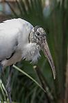 Wood stork, Mycteria americana, Florida