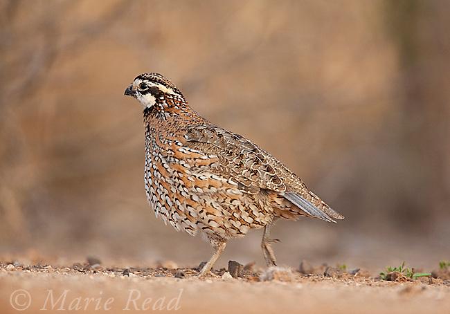 Northern Bobwhite (Colinus virginianus) male walking, Rancho Santa Clara, Rio Grande Valley, Texas, USA