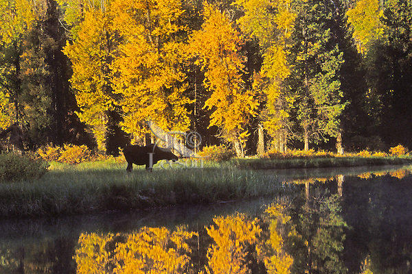 Cow moose (Alces alces) along quiet side channel of Snake River.  Early morning. September. Grand Teton National Park, WY.