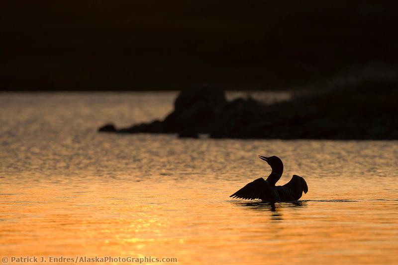 Yellow-billed loon swims in Toolik lake in Alaska's Arctic.