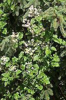 Gewöhnliche Waldrebe, Echte Waldrebe, Wald-Rebe, Clematis vitalba, Old Man´s Beard, Traveller´s Joy