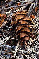 Pine cone along a hiking trail near Red River, New Mexico.