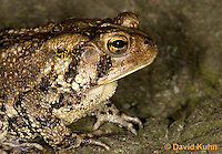 0304-0934  American Toad, Details of Head, © David Kuhn/Dwight Kuhn Photography, Anaxyrus americanus, formerly Bufo americanus