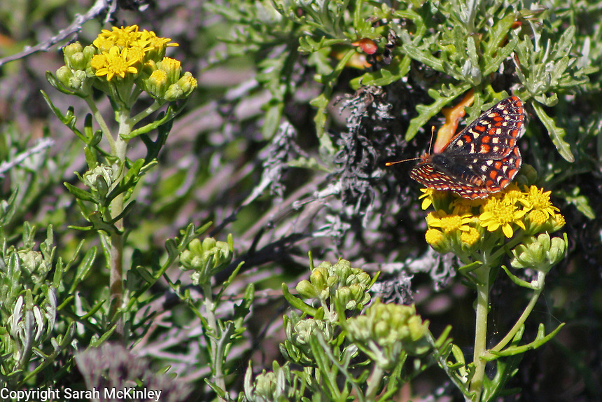 The bright yellow-orange antennae of a checkerspot butterfly catch the sun as the butterfly rests on a yellow flower.