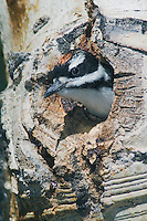 Hairy Woodpecker, Picoides villosus,young in nesting cavity in aspen tree,Rocky Mountain National Park, Colorado, USA, June 2007