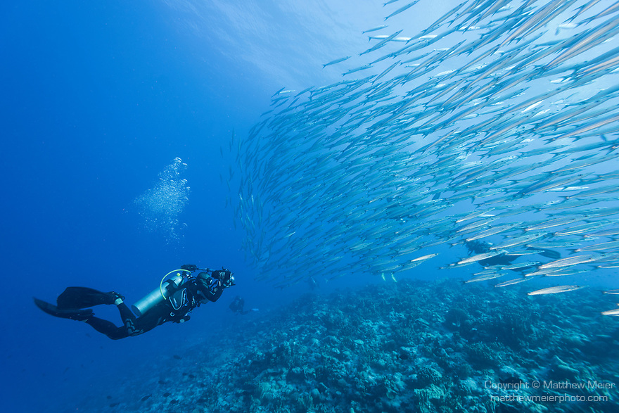 Toau Atoll, Tuamotu Archipelago, French Polynesia; an underwater photographer approaches a school of Heller's barracuda, swimming in the blue at the edge of a coral reef wall
