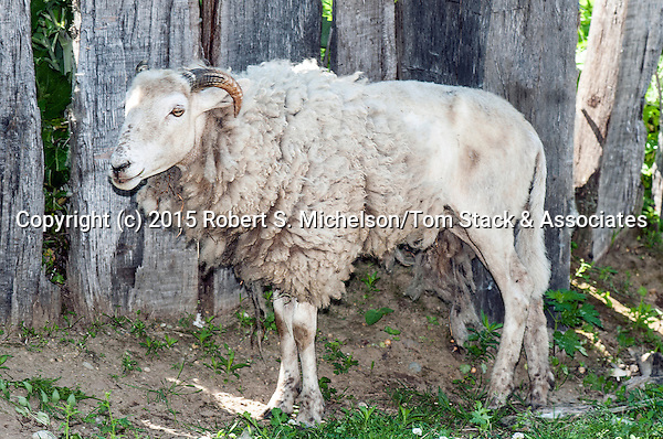 Wiltshire Horned Sheep facing left full body view.  This species is considered to be one of the oldest species that originated in Europe.  It is still widely sought after because unlike most sheep species, the Wiltshire does not need to be sheared and will shed its wool coat every spring as is seen in this photo.