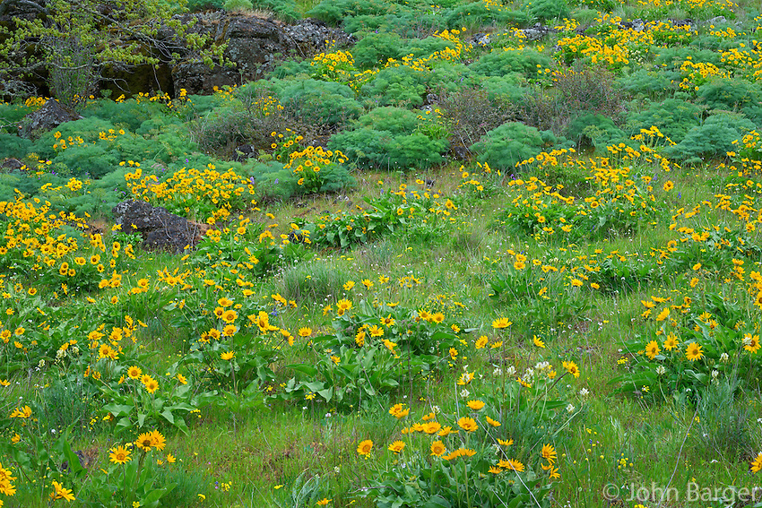 ORCG_D168 - USA, Oregon, Columbia River Gorge National Scenic Area, Tom McCall Preserve, Spring bloom of Northwest balsamroot.