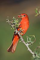Summer Tanager, Piranga rubra, male eating Agarita (Berberis trifoliolata) berries, Uvalde County, Hill Country, Texas, USA